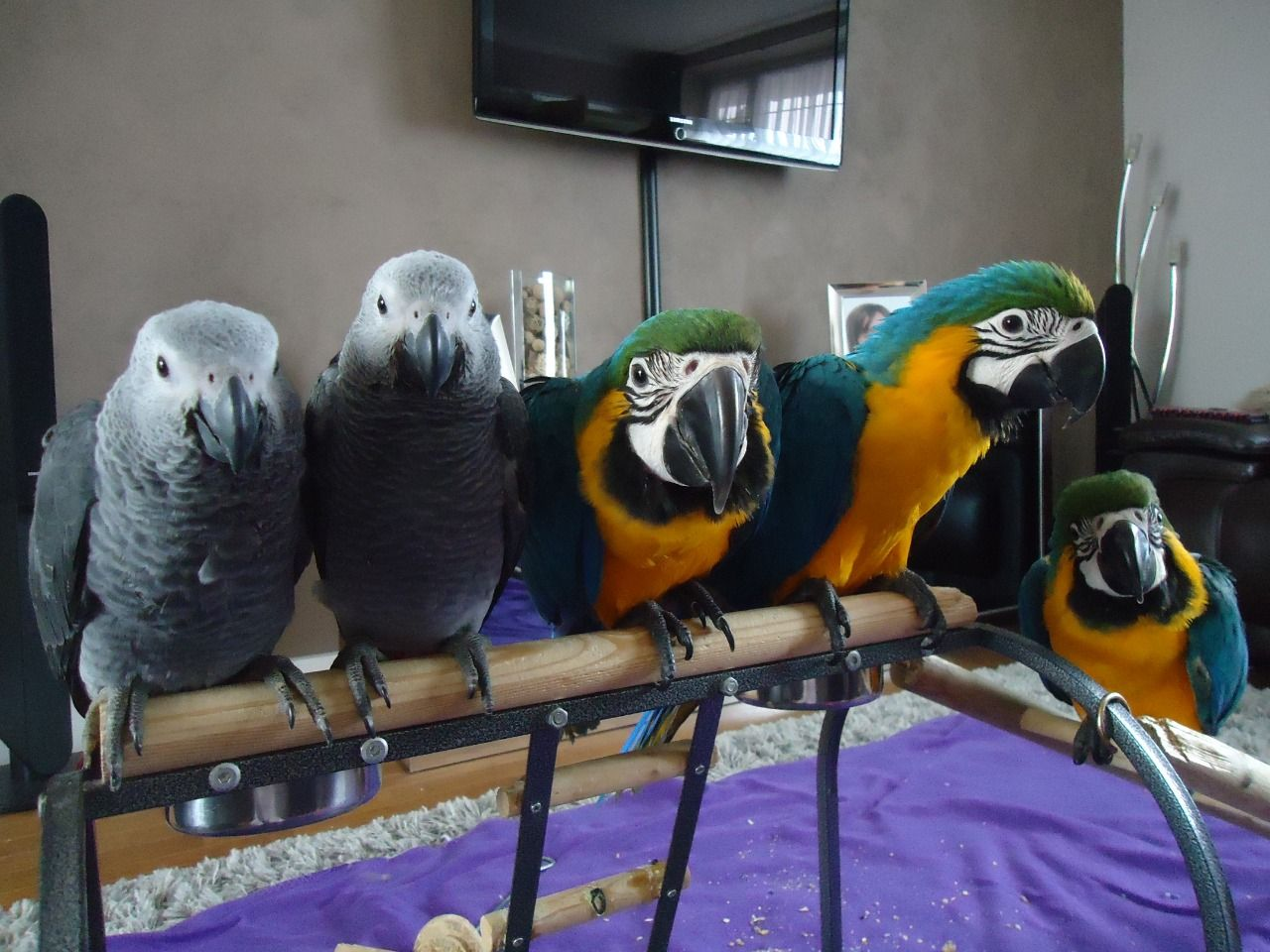 Iran Birds For Sale classifieds  Buy and Sell, Browse or Post Ads